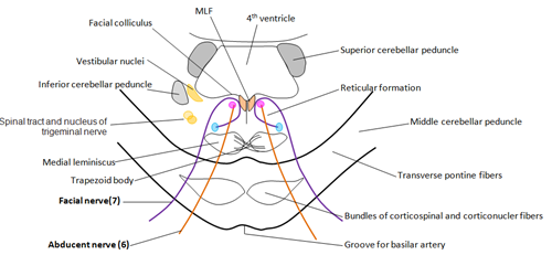 Brain anatomy made easy